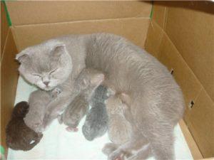 Сколько длится беременность у кошек. Сколько длится беременность у кошек, британской, вислоухой, мэйн кун Сколько времени продолжается беременность у кошек