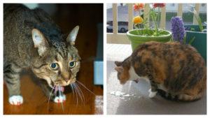 Почему у кошки рвота после еды. Что делать, если кошку рвет после еды непереваренной пищей? Какие рационы считаются неправильными