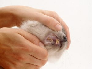 Анемия у кошек: симптомы, виды, лечение. Как лечить кошку от анемии У кота анемия что делать