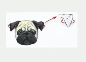 Как заклеить уши обрезанные у щенка. Почему нужно и как клеить уши мопсу? Правила и инструкции - как клеить уши щенку