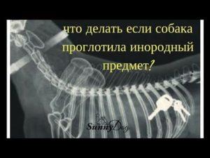 Что делать если щенок проглотил инородный предмет. Собака проглотила инородное тело — что делать? Что делать, если собака проглотила кость и заболела