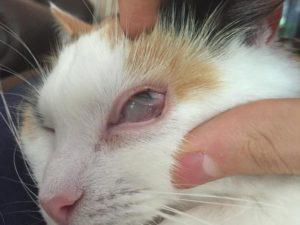 У кошки вылезло третье веко. Почему видно третье веко у кошки и как с этим бороться? Почему возникает проблема