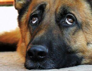 Что для собаки взгляд в глаза. Что означает собачий взгляд. Можно ли смотреть в глаза своей собаке