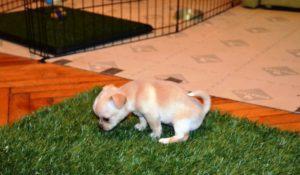 Как приучить щенка чихуахуа к лотку или пеленке. Рекомендации по приучению чихуахуа к лотку или пелёнке Как приучить взрослую собаку чихуахуа к пеленке