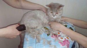 Ножницы для стрижки кошек в домашних условиях. Как подстричь кошку дома