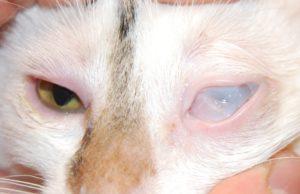 Лечение третьего века у кошки в домашних условиях. Причины выпадения третьего века у кошек и методы лечения Красное третье веко у кота