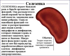 Селезенка относится к пищеварительной системе. За что отвечает селезенка?