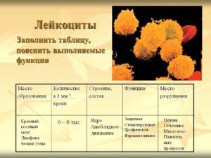 Где образуются лейкоциты. Место образования лейкоцитов
