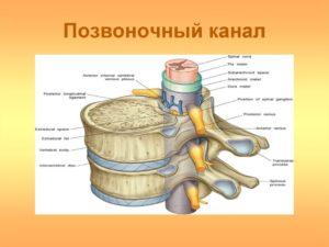 Позвоночный мозг. Сагиттальный размер позвоночного канала. Отделы позвоночника в норме