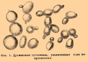 Споры дрожжевых грибов в кале. Что такое дрожжевые грибы в кале у взрослого. Дрожжеподобные грибы в кале у взрослых и детей