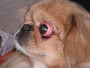 Собаки, у которых выпадают глаза: особенности проптоза. Тибетская порода ши-тцу - собака, у которой выпадают глаза Как выпадают глаза у