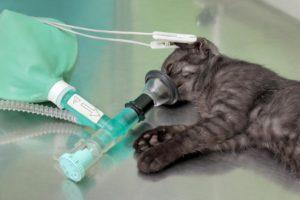 Наркоз для кошек и собак. Наркоз собакам и кошкам. Интервью с анестезиологом