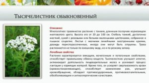 Какие травы разрешены и противопоказаны при беременности. Тысячелистник трава – лечебные свойства и противопоказания