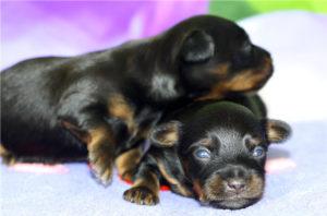 Когда той терьеры открывают глаза. Развитие щенков: от рождения до месяца Когда щенки открывают глаза и начинают ходить