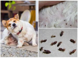 Вши у собаки показать можно ли заразиться. Что делать, если появились вши у собак. Как лечить заболевшее животное