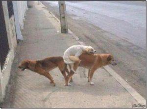 Узел собаки застрял. Почему собаки слипаются во время спаривания. Собака породы сиба-ину застряла в кустах