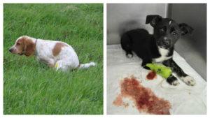 Понос со слизью у собаки: список основных причин. Понос у собаки с кровью и слизью: причины, лечебная терапия