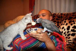 Могут ли ужиться кот с попугаем. Как подружить кошку с попугаем. Как им подружиться