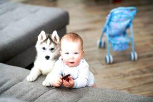 Воспитание хаски с первых месяцев. Воспитание и дрессировка щенка хаски. Не менее важно