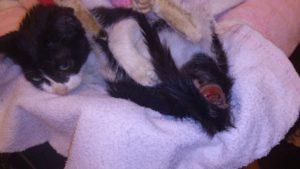 У кошки кровь из заднего прохода.  Причины и лечение