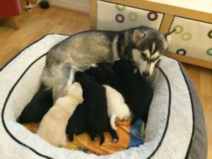 Кормление хаски после родов. Рацион кормления собаки после родов. Кормление сразу после родов