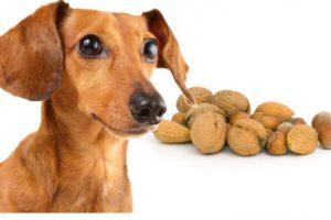 Можно ли собакам давать грецкие орехи, кедровые, миндаль и другие. Можно ли йоркширскому терьеру орехи? Можно ли собакам миндаль
