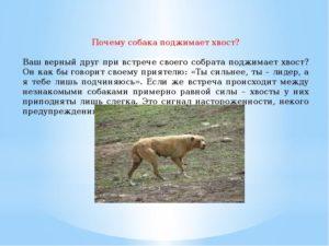 Собака поджимает хвост и дрожит мечется. Почему собака поджимает хвост: правильно истолковываем своего питомца. Поведенческие причины и внешние факторы