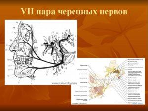 Восьмая пара черепных нервов. Черепные нервы I-VI пары