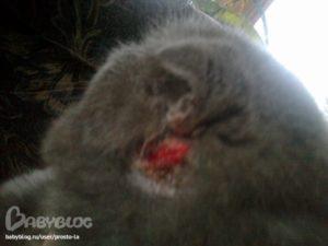Что делать если кот чешет уши. Любимая кошка расчесала ухо до крови: что делать и куда бежать? Кот расчесывает около уха до крови