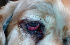 Почему у собаки идут слезы. Что делать, если у собаки текут глаза: причины, симптомы и доступные способы лечения. Как устранить слезоточивость глаз