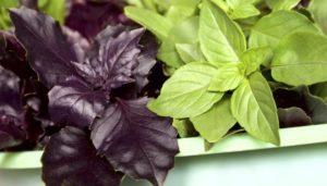Полезные свойства базилика фиолетового и зеленого. Чем полезен фиолетовый базилик для женщин