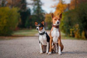 Басенджи: собака, которая не лает. Собака, которая не умеет лаять Басенджи почему они не лают