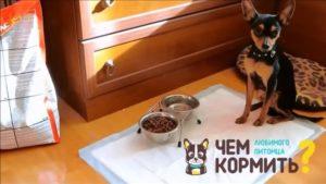 Чем кормить той терьера в 1.5 месяца. Чем кормить щенка той-терьера - все правила сбалансированного питания
