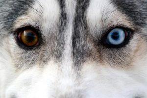 Сибирский хаски разные глаза. Почему у хаски разные глаза. Какие бывают виды хаски