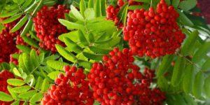 Рябина - лечебные свойства и применение в медицине. Когда лучше собирать красную рябину. Рябина: ягоды с уникальным составом