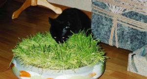 Как выращивают траву для кошек на продажу. Как называется трава для кошек, как ее посадить и вырастить. Выращивание травки в домашних условиях