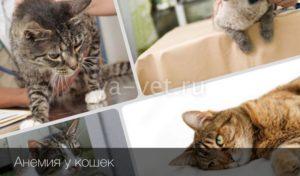 Анемия у кошек и котов. Анемия кошек: причины, лечение, симптомы, диагноз, прогноз, профилактика У кота анемия от блох