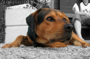 Щенок немецкой овчарки грызет камни. Почему собака ест камни: подробный разбор и советы. Извращенный аппетит собак