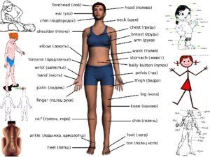 Части тела человека. Области туловища и их границы. Названия частей человеческого тела на английском