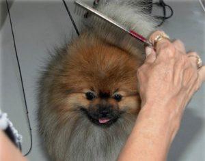 Когда у щенков шпица меняется шерсть. Какой уход требует за собой шпиц