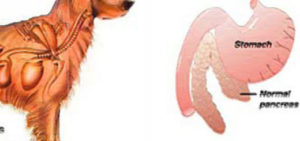 Поджелудочная железа собаки препарат. Панкреатит у собак, симптомы и лечение. Панкреатит у йоркширских терьеров: симптомы, лечение, кормление