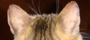 У кота горячие красные уши лысеют. У кота горячие уши – что это значит. Когда горячие уши – норма