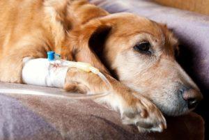 Собака кашляет простудилась что делать. О простуде у собак: симптомы и лечение в домашних условиях, может ли заразиться от человека, список антибиотиков. Симптомы, которые не стоит игнорировать