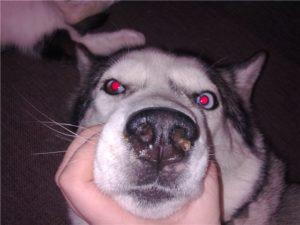 У собаки зеленые сопли чем лечить. Сопли у собаки: симптомы, особенности лечения и рекомендации профессионалов. По специфике протекания ринит делят на два типа