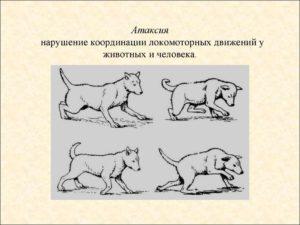 Нарушение координации движения у кошек причины. Нарушение равновесия (координации движений) у собак и кошек