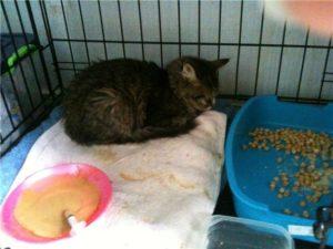 Кошка после еды рыгает. Британская кошка рвет. Кошку рвет после еды непереваренной пищей — причины недуга и способы его лечения. Почему котенок рвет непереваренной едой