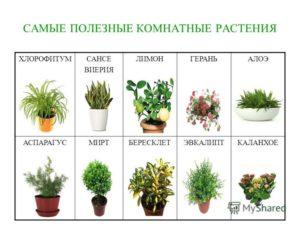 На какие цветы бывает аллергия. Вредоносность комнатных растений - миф или реальность. Полезные для дома растения