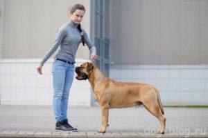 Обучение выставочной собаки работе в ринге. Выставочная стойка. Правильное воспитание чемпиона Собачья стойка в спорте как сделать