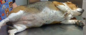 У собаки огромный живот. Раздувает живот у собаки: причины, возможные заболевания, методы лечения и профилактика. К причинам его развития относят