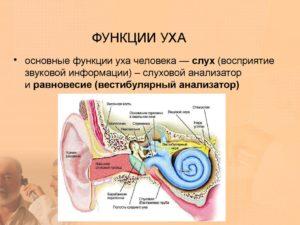 Строение уха человека и функции его частей. Анатомия уха человека
